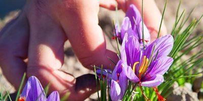 saffron-3